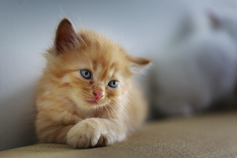 Može li mačka da bude muza?